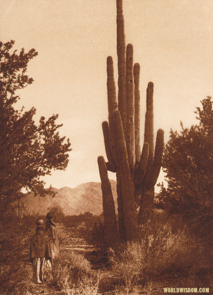 """Gathering cactus fruit"" - Pima, by Edward S. Curtis from The North American Indian Volume 2"